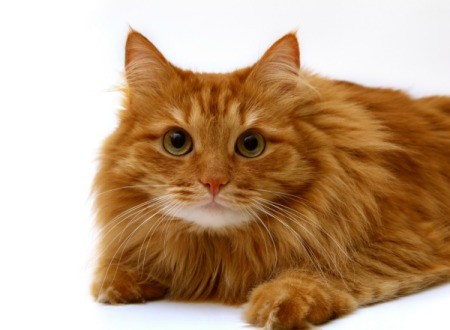 Orange long haired tabby.