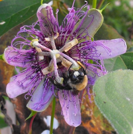 Bumblebee Asleep on Passionflower