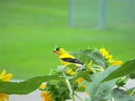 Finch on our Sunflowers