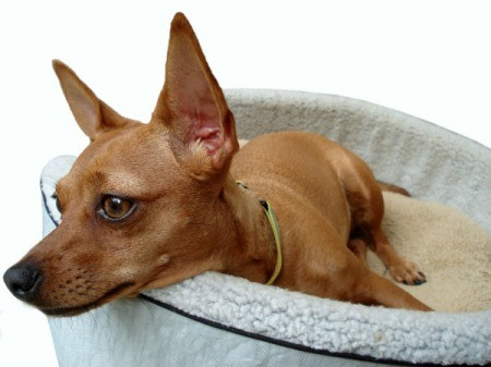 A Chihuahua laying in its bed.