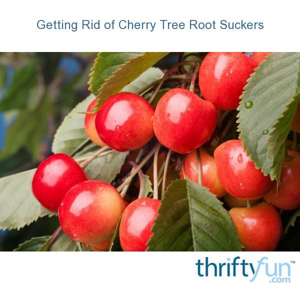 Getting Rid Of Cherry Tree Root Suckers Thriftyfun