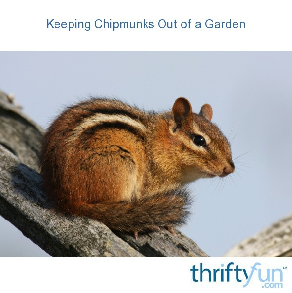keeping chipmunks out of a garden thriftyfun