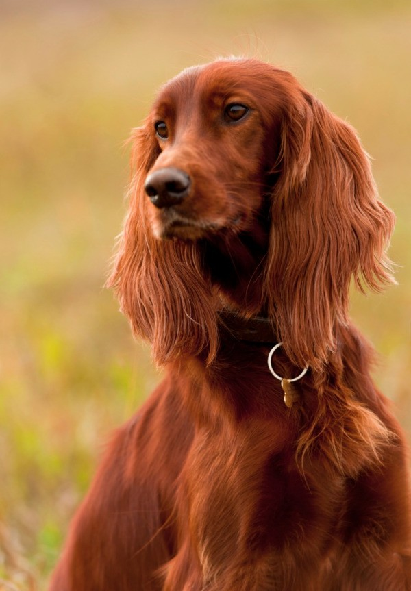 Irish Setter Breed Information And Photos Thriftyfun