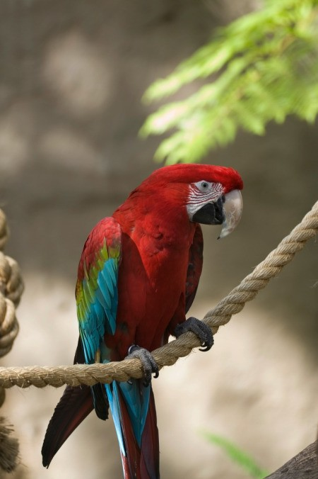 Parrot sitting on a rope.