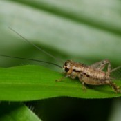 Cricket on a leaf.