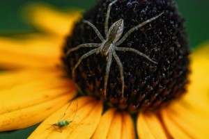 Spider on a black eyed Susan.