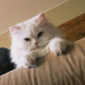 A white cat sitting on a couch.