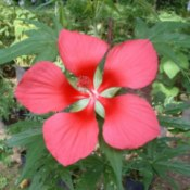 Beautiful Red Marsh Mallow (Hibiscus Coccineus)