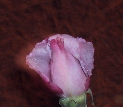 Pink rose with dark edges.