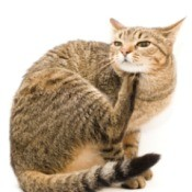 A cat scratching itself because it has fleas.