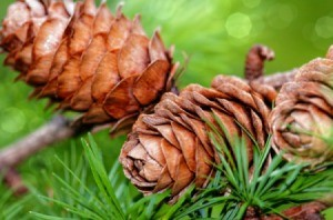 How To Grow Your Pines
