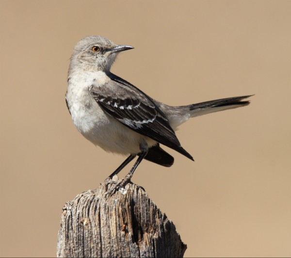 getting rid of mockingbirds