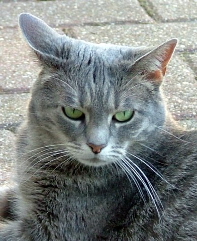 Grey tabby cat.