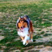 Collie running.