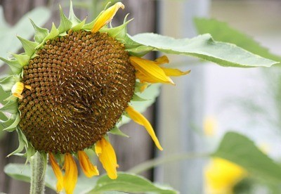 Closeup of sunflower head.