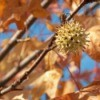 Sweetgum Tree