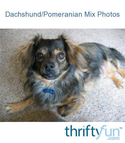 DachshundPomeranian Mix  Dachshund Pomeranian Mix