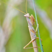 pet mantis religiosa