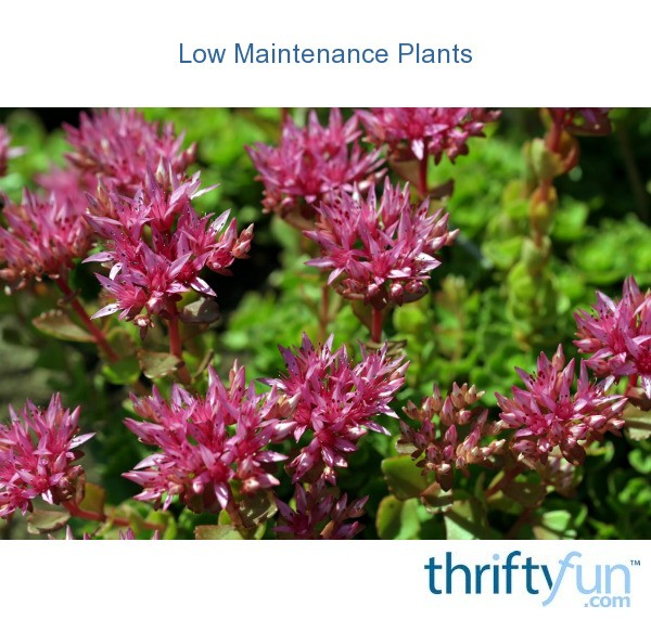 Low maintenance plants thriftyfun for Low maintenance flowering bushes