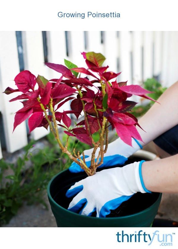 how to grow a poinsettia tree