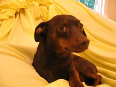 Brown Pinscher Chihuahua Mix Chihuahua min pin mix.