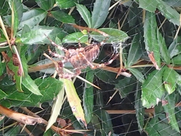 Spider and web in shrub.