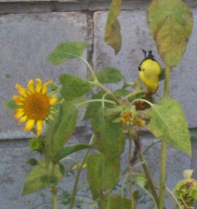 Bird eating sunflower seeds.