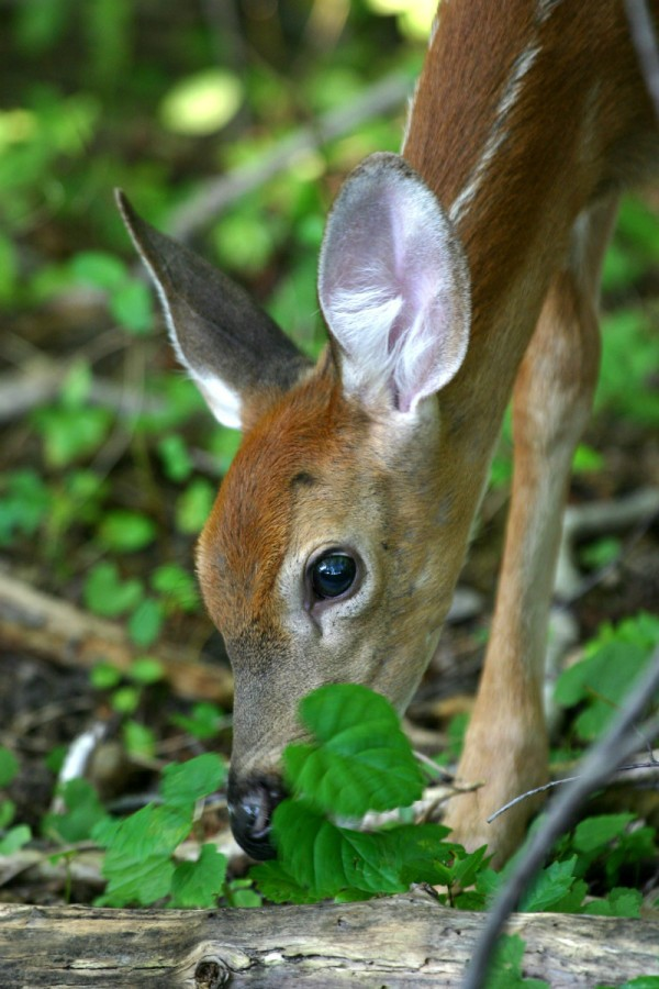 Fawn (Baby Deer) Information and Photos | ThriftyFun - photo#8