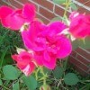 Closeup of several roses in bloom.