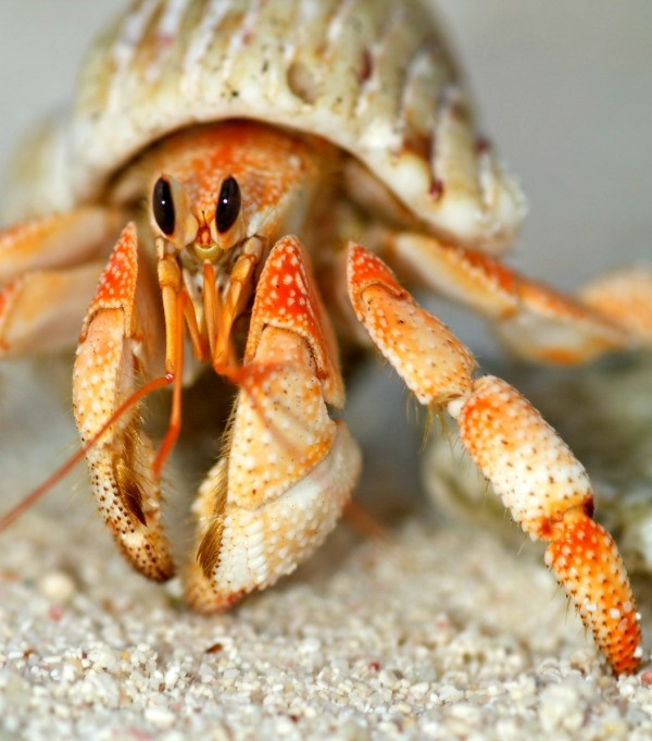 Hermit crab - photo#5