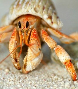 hermit crab close up