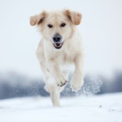 A golden retriever running in the snow.