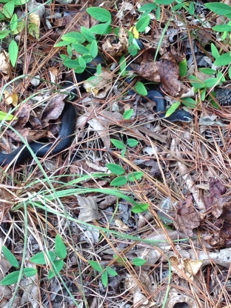 Black snake in leaf and pine needle scatter.