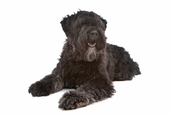 Bouvier Des Flandres Breed Information And Photos Thriftyfun