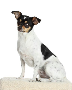 Rat Terrier/Chihuahua Mix