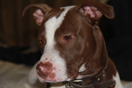 Reddish brown and white Pit.