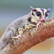 A sugar glider on a wood branch.