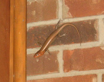 Skink on brick wall.