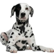 Photo of a pure bred dalmatian.