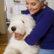 An old english sheep dog sitting on its owners lap.