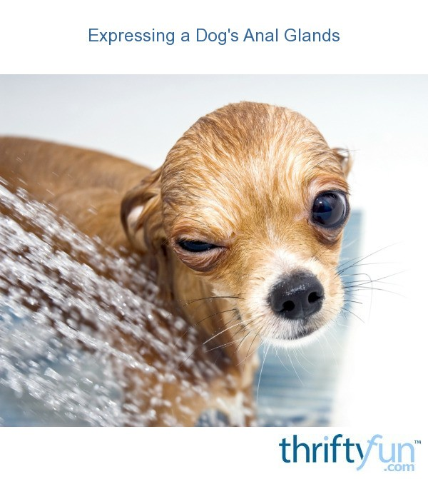 How Often Should A Dog S Glands Be Expressed