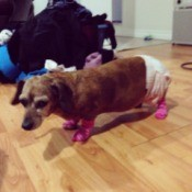 Dachshund with diaper.