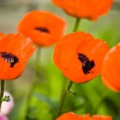Orange Oriental Poppies