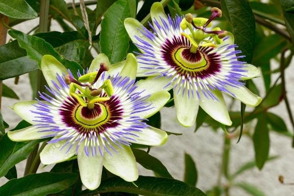 growing flowering vines indoors  thriftyfun, Beautiful flower