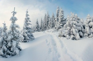 Photo of snowy trees in the mountains.