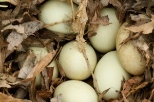 Duck eggs in a nest.