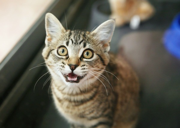 A cat looking up and meowing.