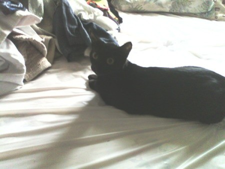 Black cat laying on bed.