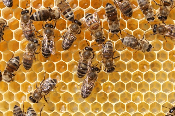 How Honeybees Make Honey
