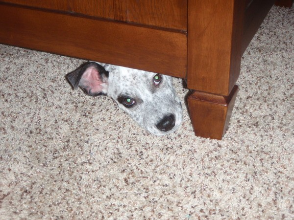 Dog peeking out from underneath furniture.